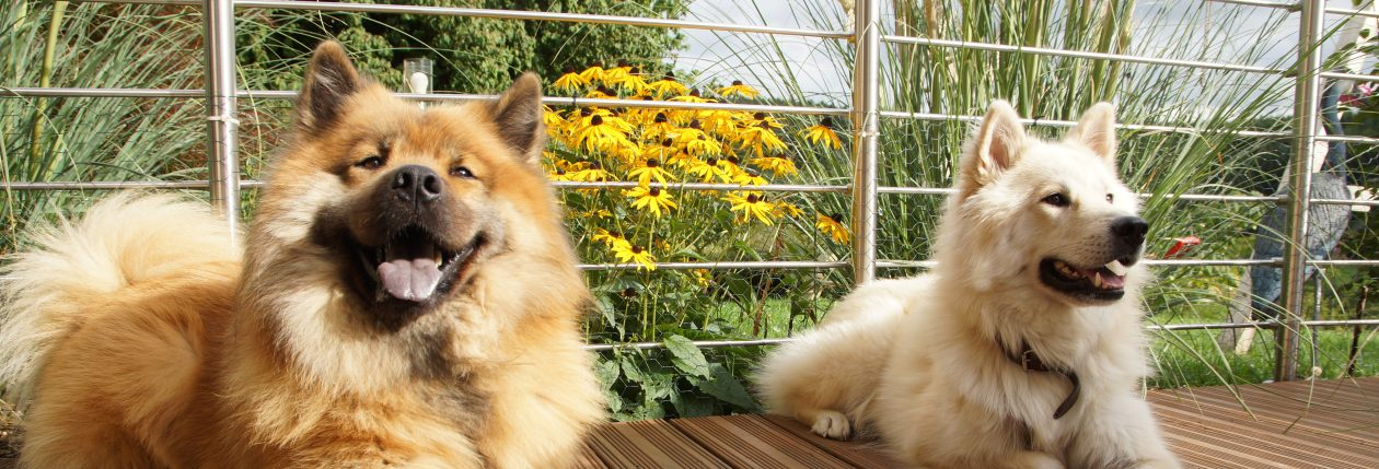 Eurasier vom Biggesee